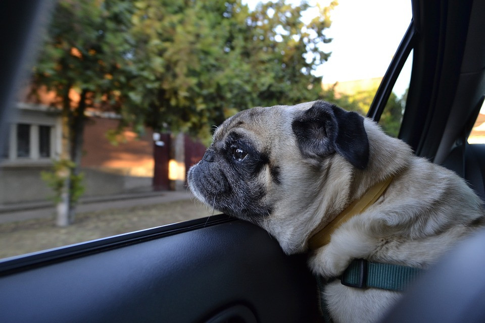Pug n a car resting its head on the car window